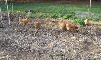Chickens Scratching