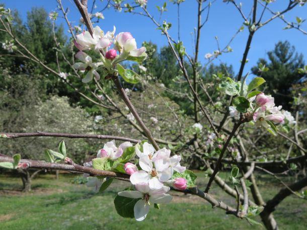 MacIntosh Blossoms