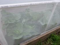 Cabbages & Collards