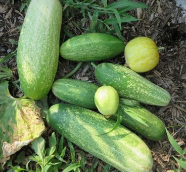 Nice Cucumbers