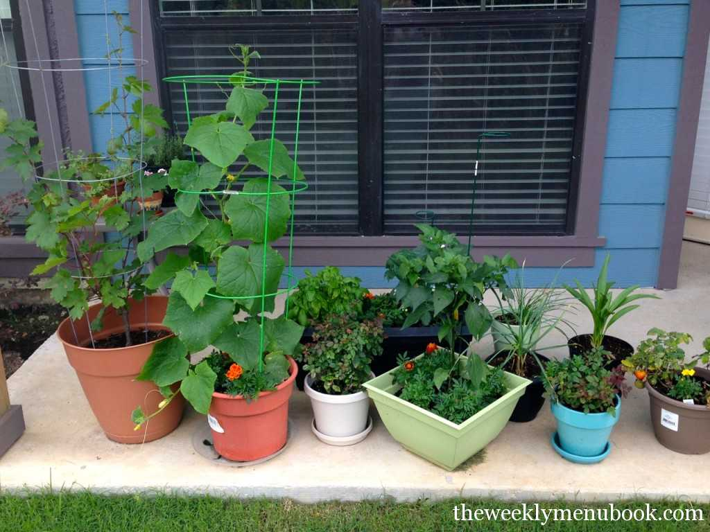 growing cucumbers in pots in austin