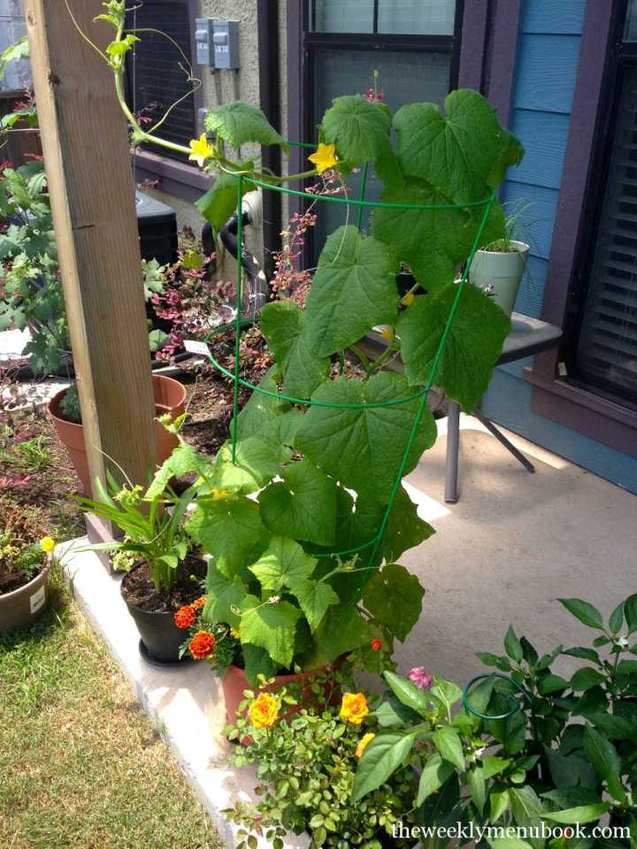 The Cucumber Vine
