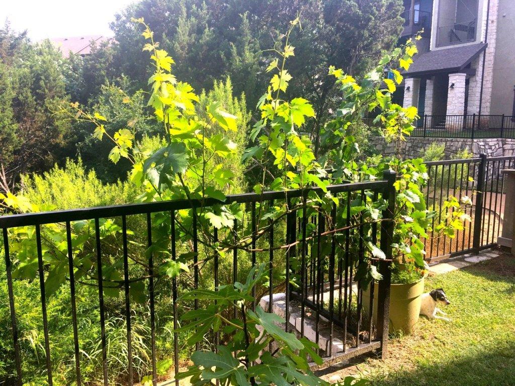 zinfandel grapevine growing my backyard