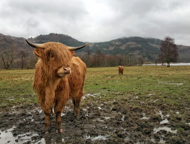 Highland cow, Trossachs