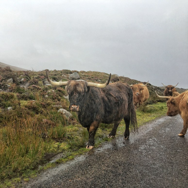 Highland cows, NC500