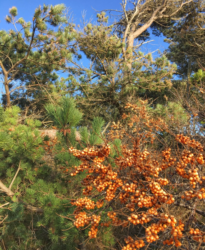 Sea buckthorn Gullane