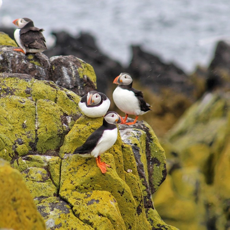 Puffin spotting, Isle of May