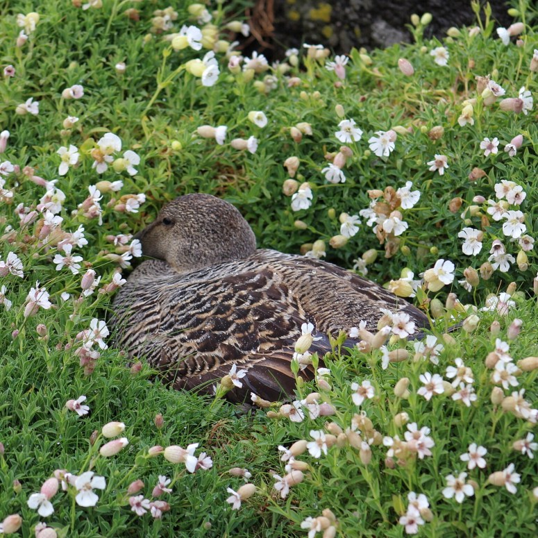 Eider duck, Isle of May