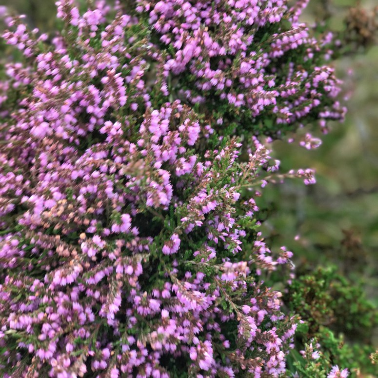 Purple heather, North Uist