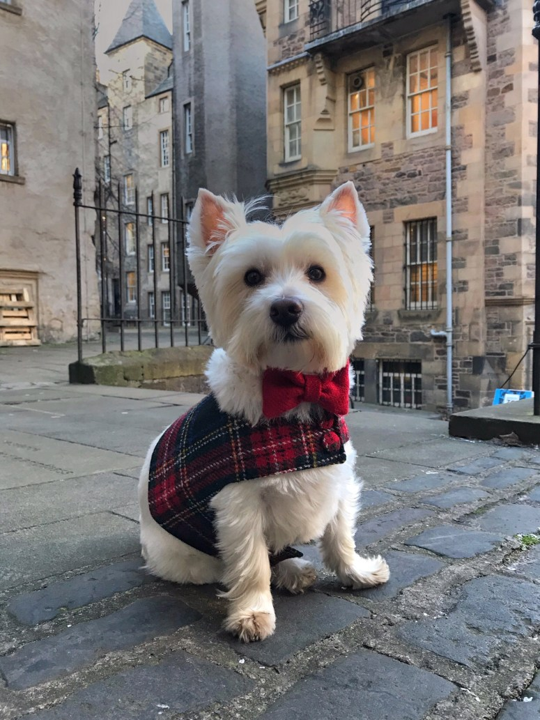 Westie in Edinburgh