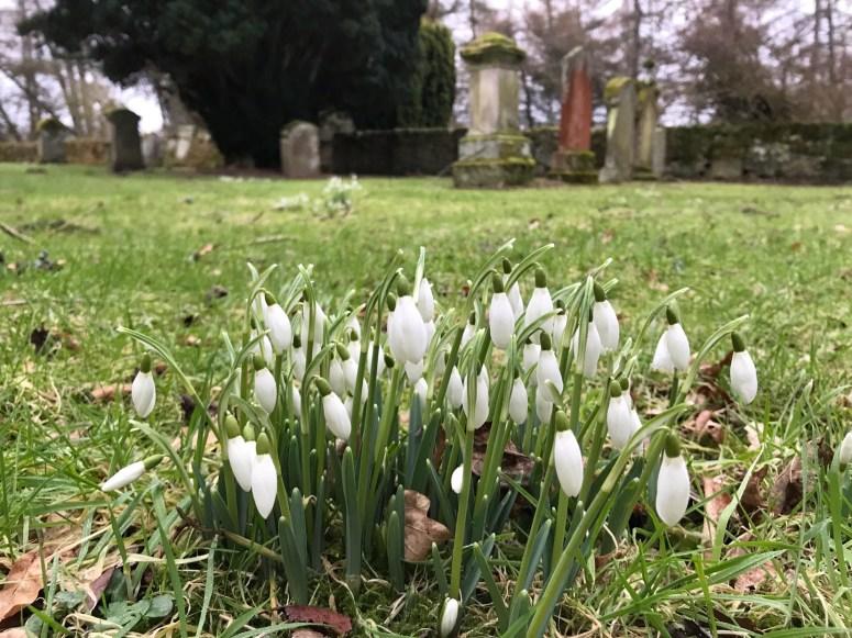 Snowdrops, Perthshire