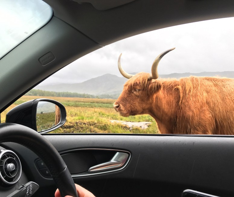Highland cattle, Isle of Mull