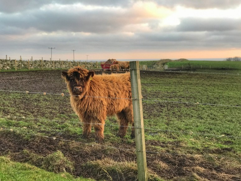 Highland Cows, Aikenshill House