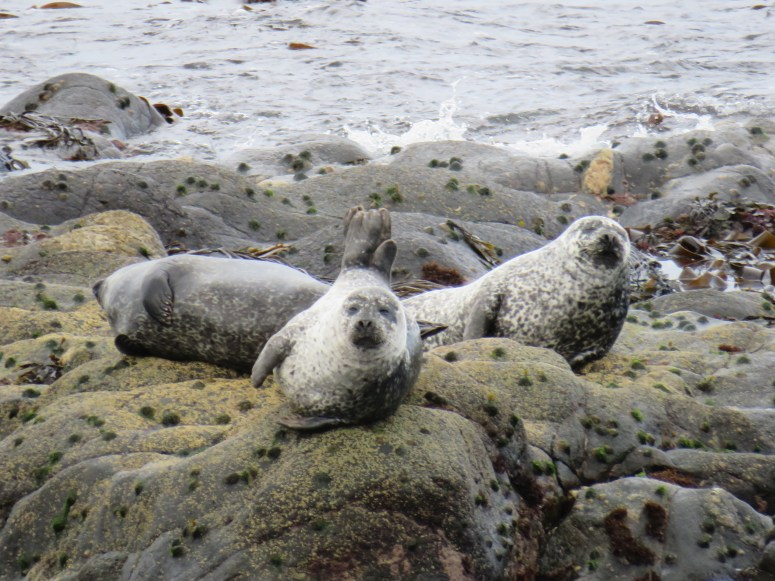 Harbour Seals Tiree