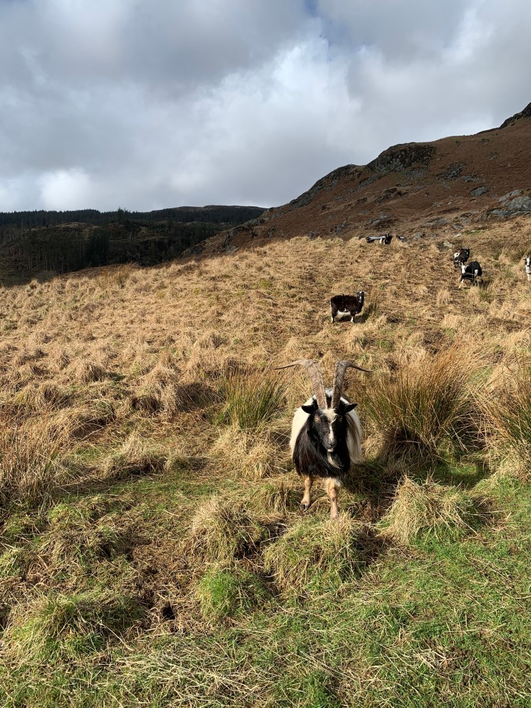 Wild Goat Park Galloway