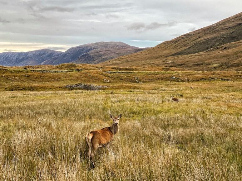 Red deer, Scottish Highlands