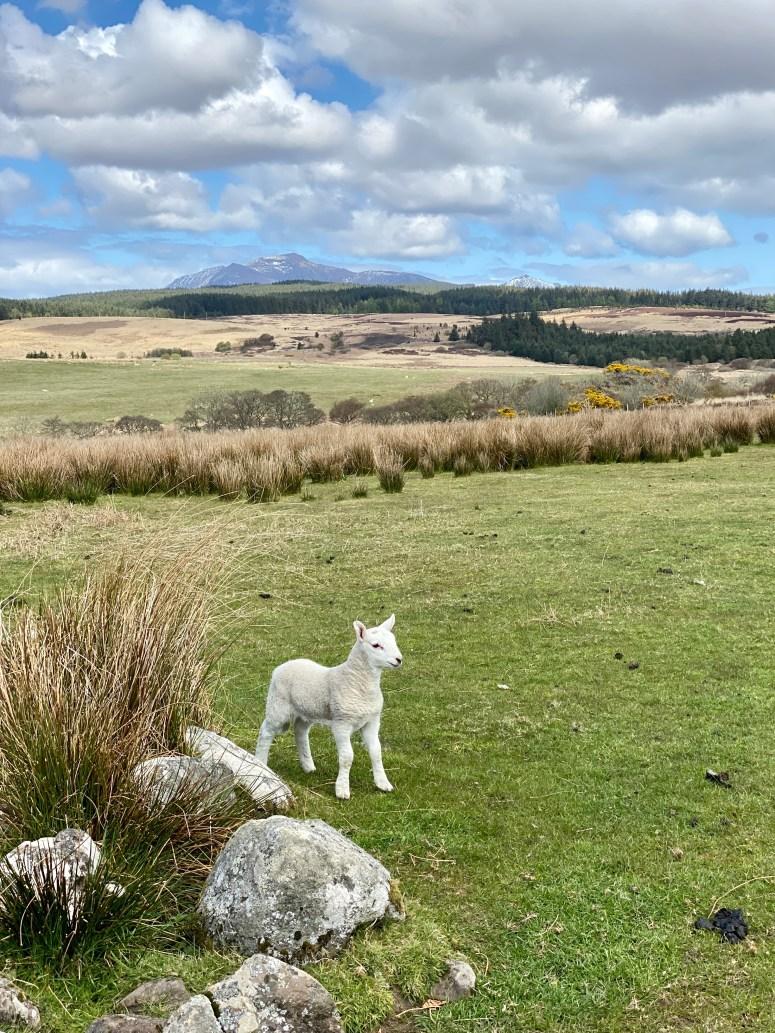Lamb on Machrie Moor, Arran