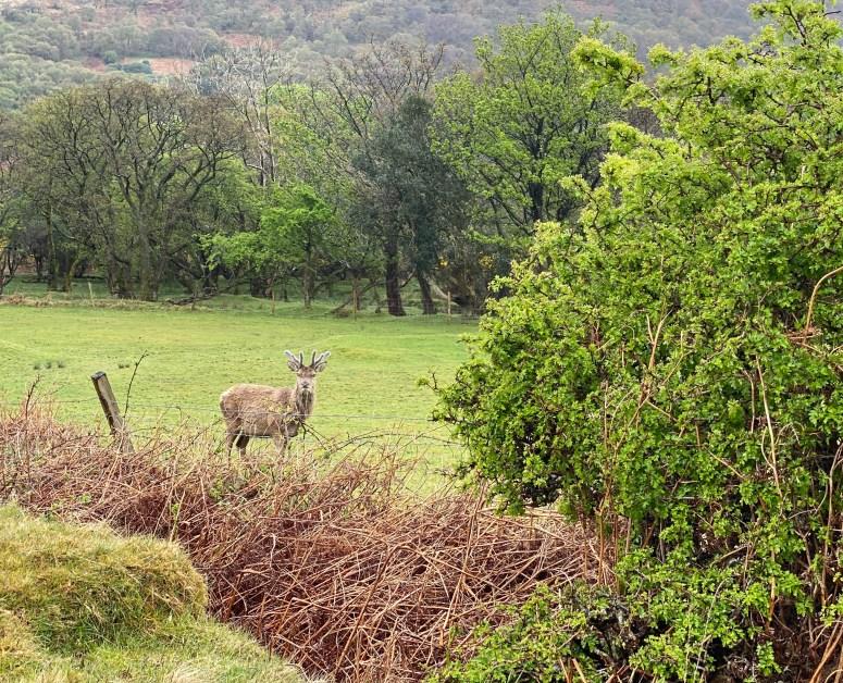Red deer stag, Lochranza