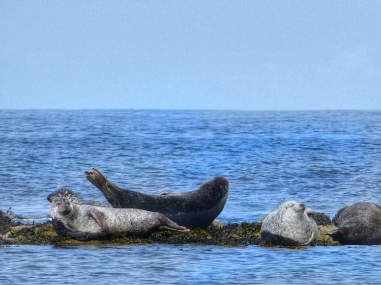 Seals, Inner Hebrides