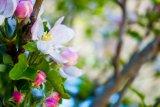 tree_flowers_by_millystargazer-da4p9sv