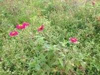 A little piece of home--found Zinnias in Gbledi Gbogama!