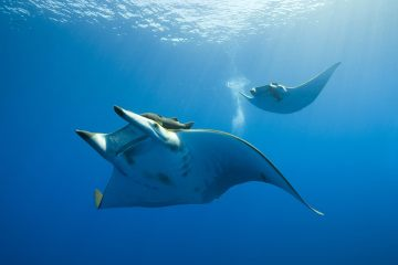 Chilean Devil Rays found to plunge much deeper than previously discovered