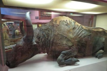 steppe-bison-mummy