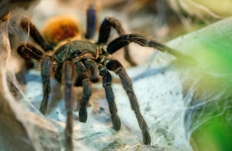 Researchers identify spider venom compounds as helpful for treating chronic pains