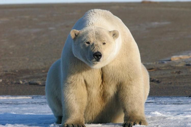 Polar bears adapting to survive on land-based diet but Experts Are Skeptical