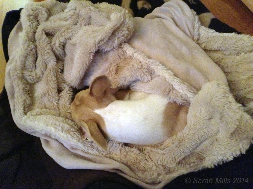 The Whippet Club - Whippet curled up in bed