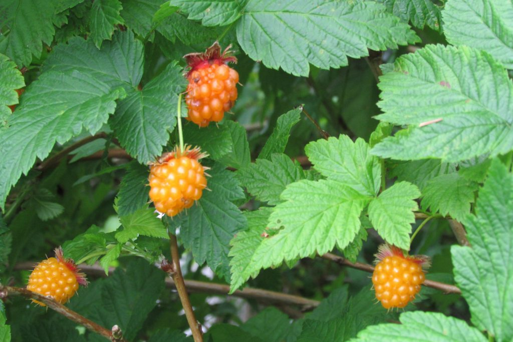 Edible Berries of the Pacific Northwest | The Whole U