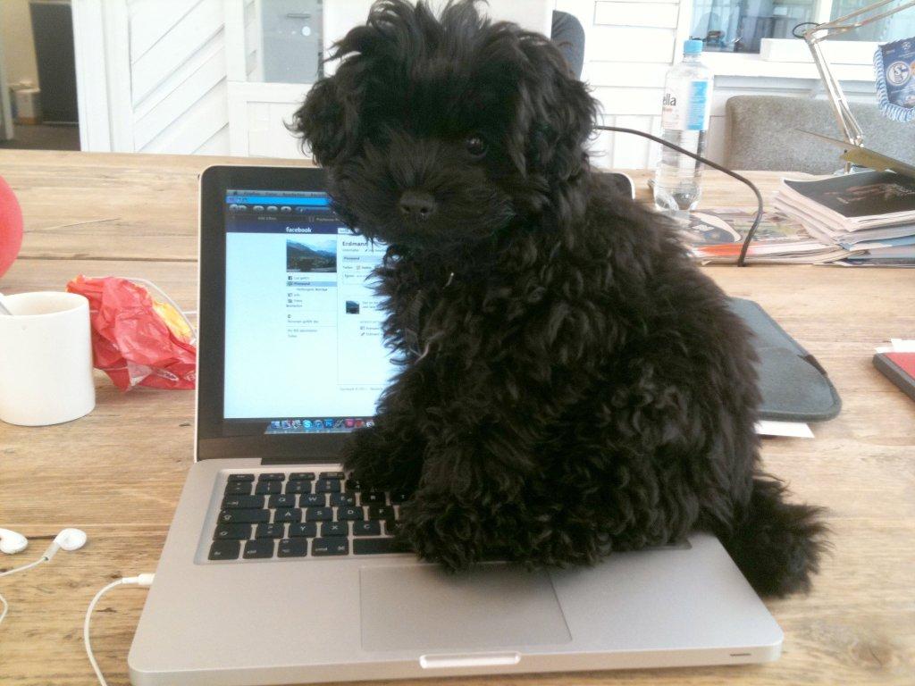 Ein kleiner Pudel sitzt auf einem Laptop und schaut in die Kamera