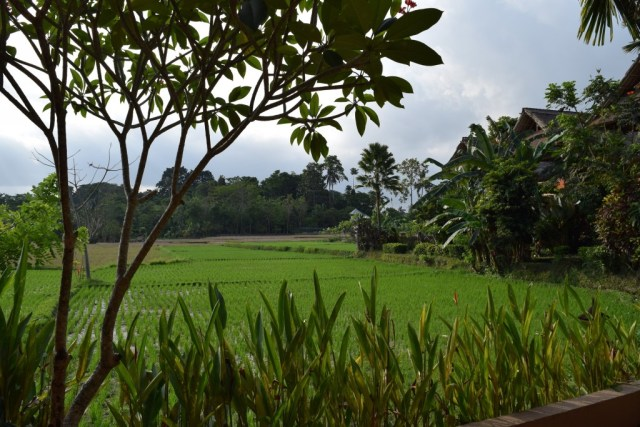 Lush green paddy field view from room 32 terrace