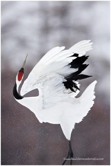 Hokkaido Cranes 18