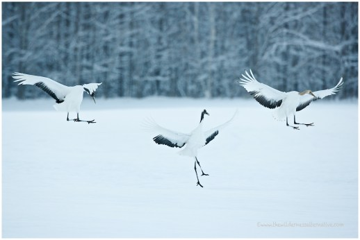 Hokkaido Cranes 7