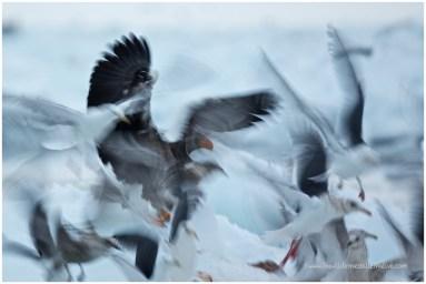 Hokkaido Eagles 1