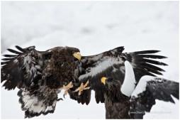 Hokkaido Eagles 14
