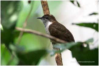 Banded-bay Cuckoo
