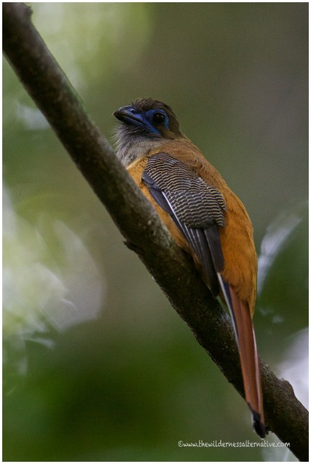 Female Red-naped Trogon
