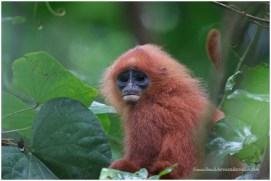 Red Leaf-monkey