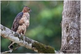 Subadult Wallace's Hawk Eagle