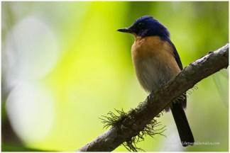 Bornean Blue Flycatcher (E)