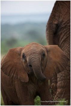 Elephants @ Samburu
