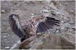 Himalayan Griffon