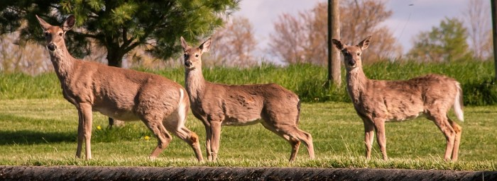 white-tailed-deer-1343865_1280