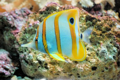 butterflyfish-460423_1920