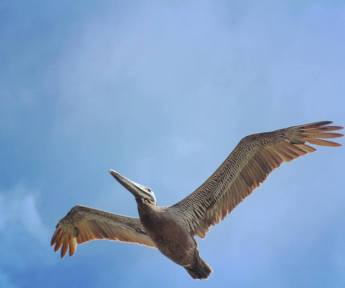 Brown Pelican I snapped a shot of from the boat