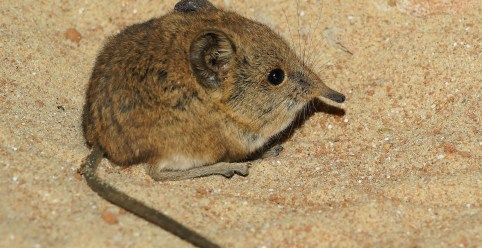 elephant-shrews-784371_1920.jpg