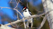 Spot the Difference: Hairy and Downy Woodpeckers