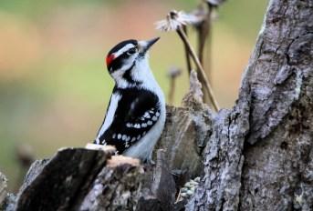woodpecker-1861004_1920